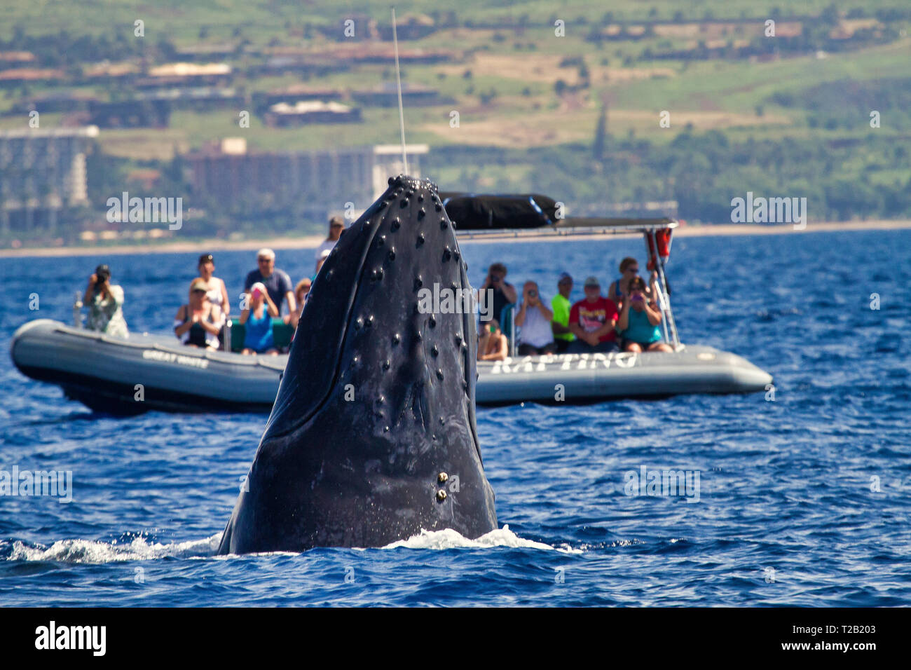 Large Humpback whale watching people on a whale watch raft. - Stock Image