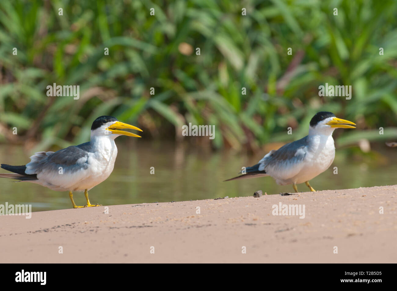Large-billed terns (Phaetusa simplex) in the Pantanal Brazil - Stock Image