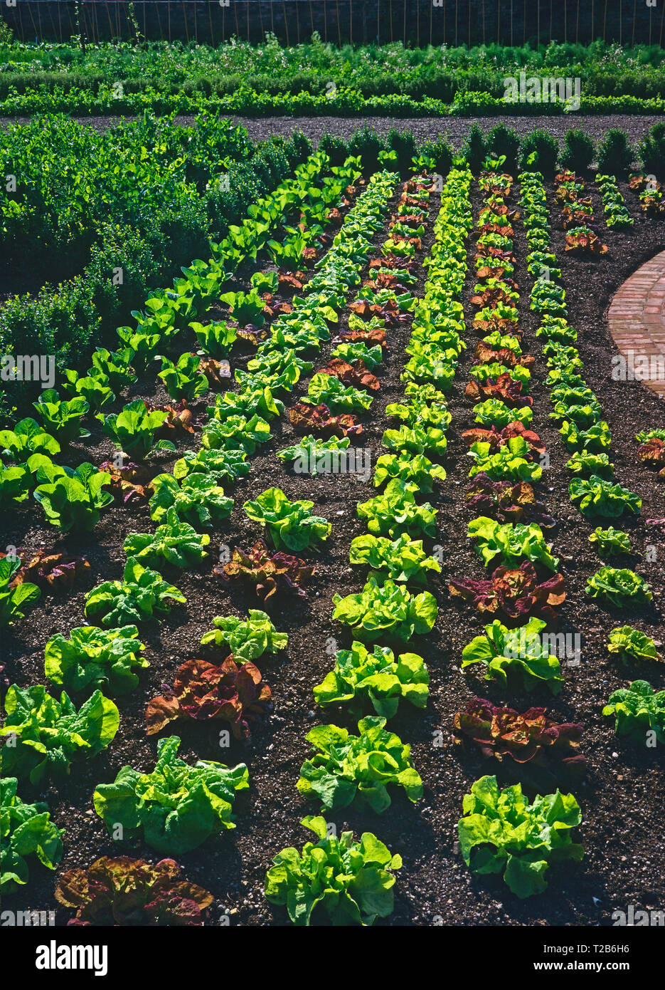 A large display of varieties of lettuce in the vegetable garden of a country house Stock Photo