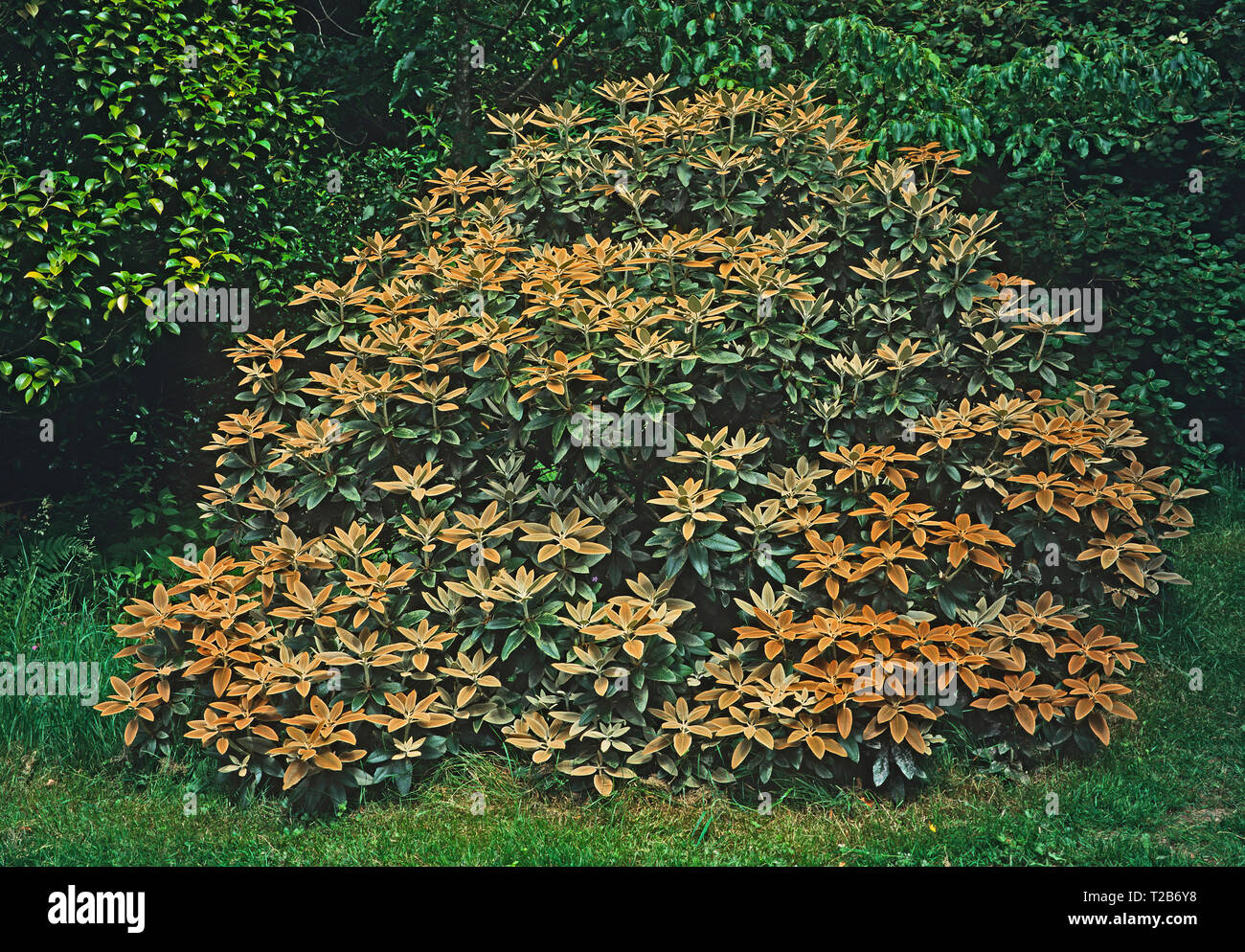 A large bush of Rhododendron pachytricbum in a country garden Stock Photo