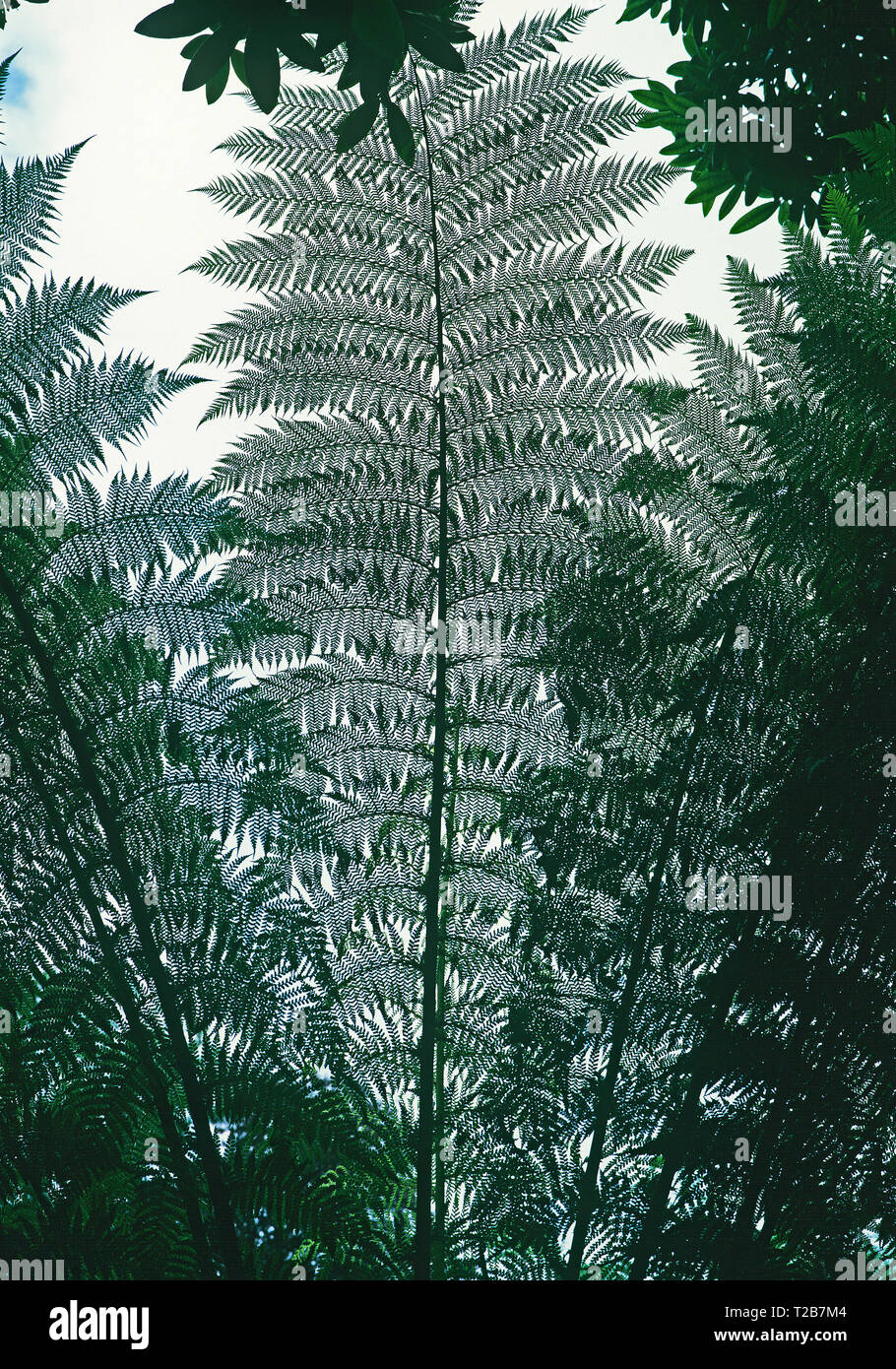 The lacelike quality of the leaves of the Dicksonia Antarctica seen from below Stock Photo