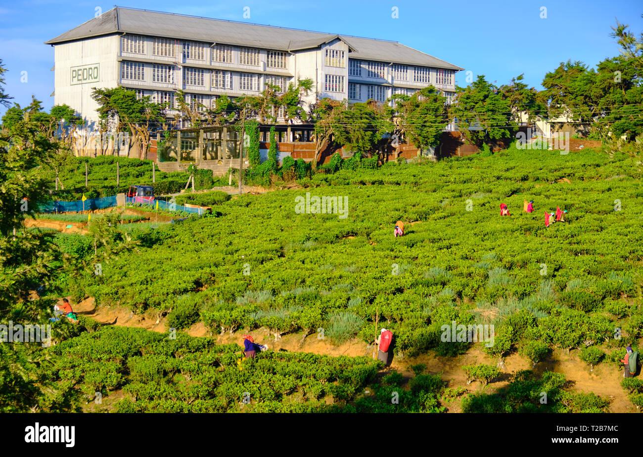 Pedro tea plantation with fields of tea plants and pickers on sunny day.  Nuwara Eliya, Sri Lanka Stock Photo
