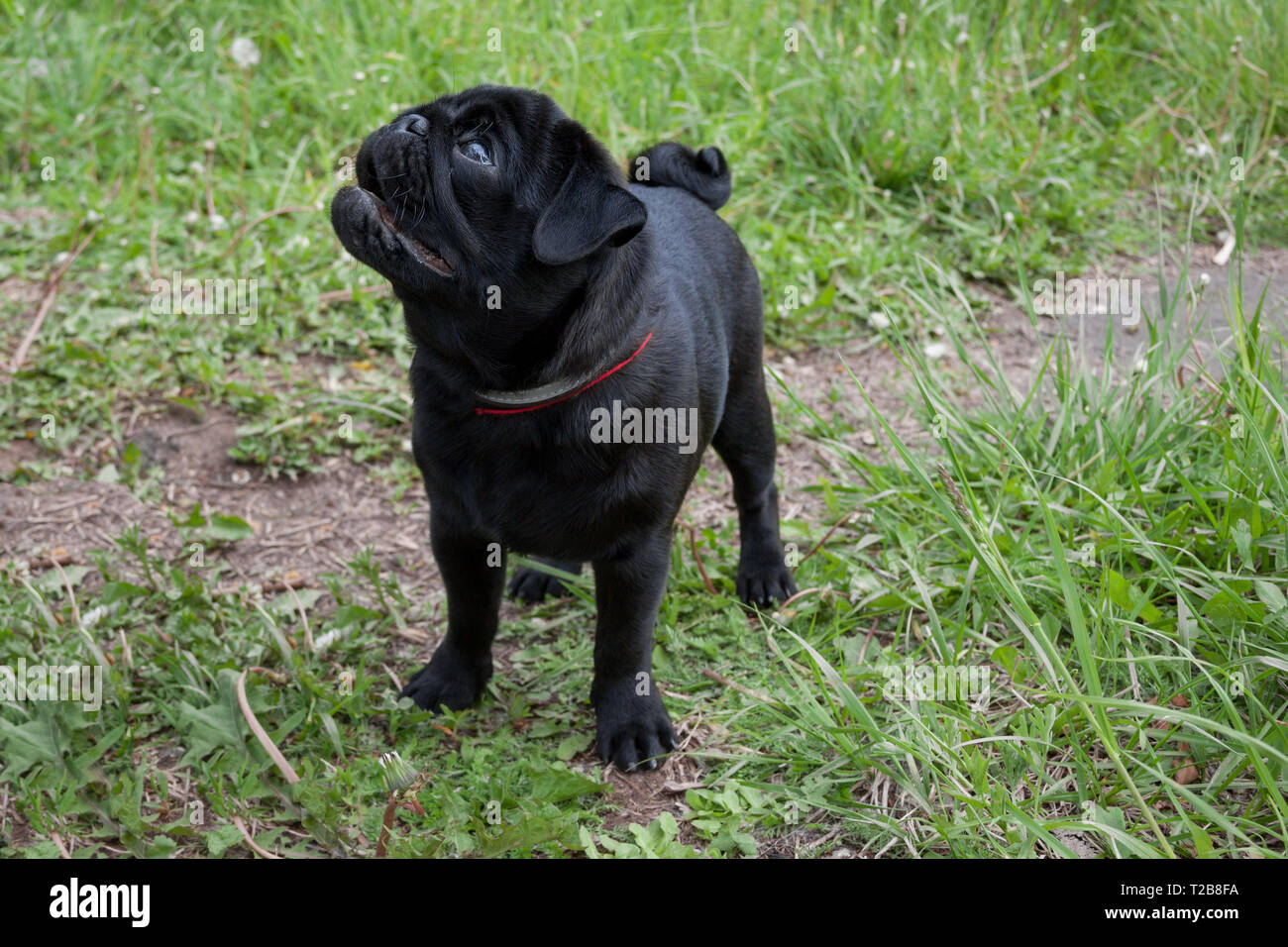 Black chinese pug puppy is standing on a spring meadow. Dutch mastiff or mops. Pet animals. Purebred dog. - Stock Image