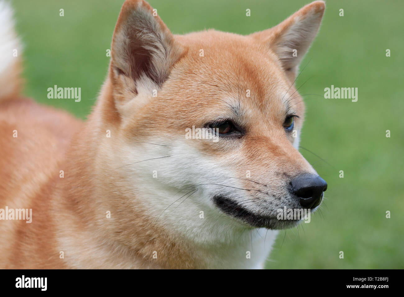 Cute red shiba inu close up. Pet animals. Purebred dog. - Stock Image