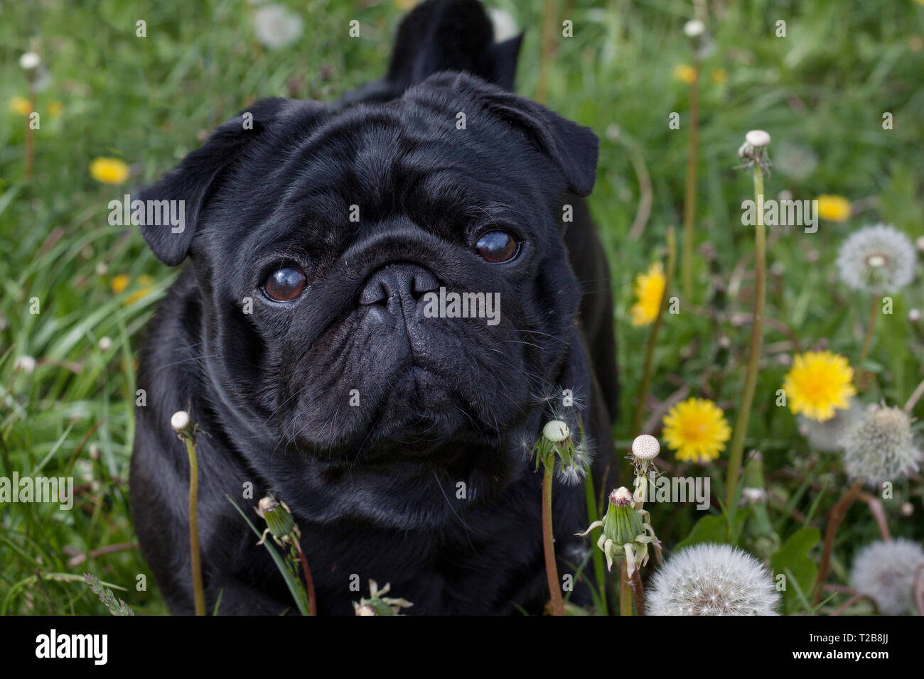 Cute chinese pug puppy is standing on a blooming meadow. Dutch mastiff or mops. Pet animals. Purebred dog. - Stock Image