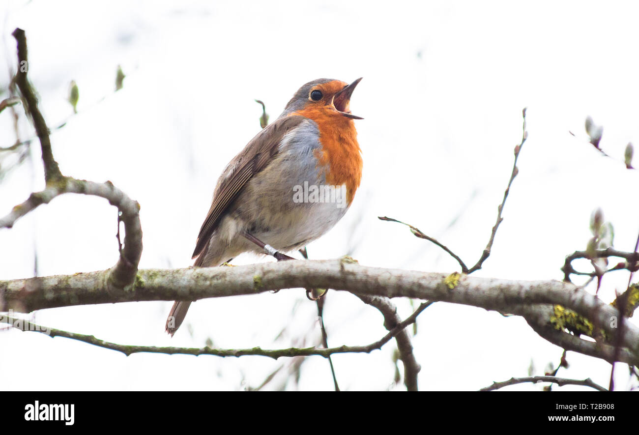 A European robin (Erithacus rubecula) sings while perched on a branch in Shropshire, England. - Stock Image