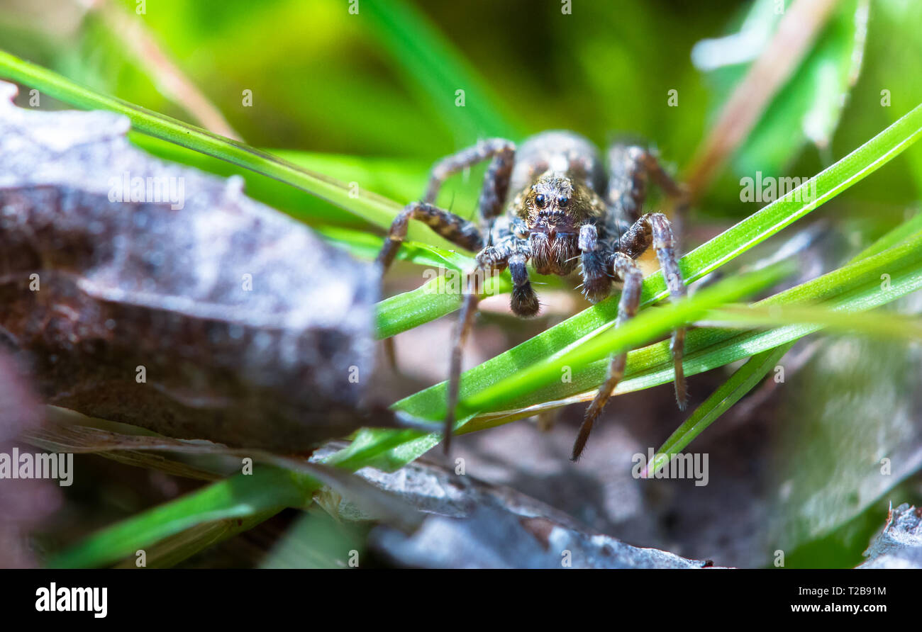 A wolf spider (Pardosa amentata) crawls through the grass on a sunny day at Wem Moss, Shropshire, England. - Stock Image