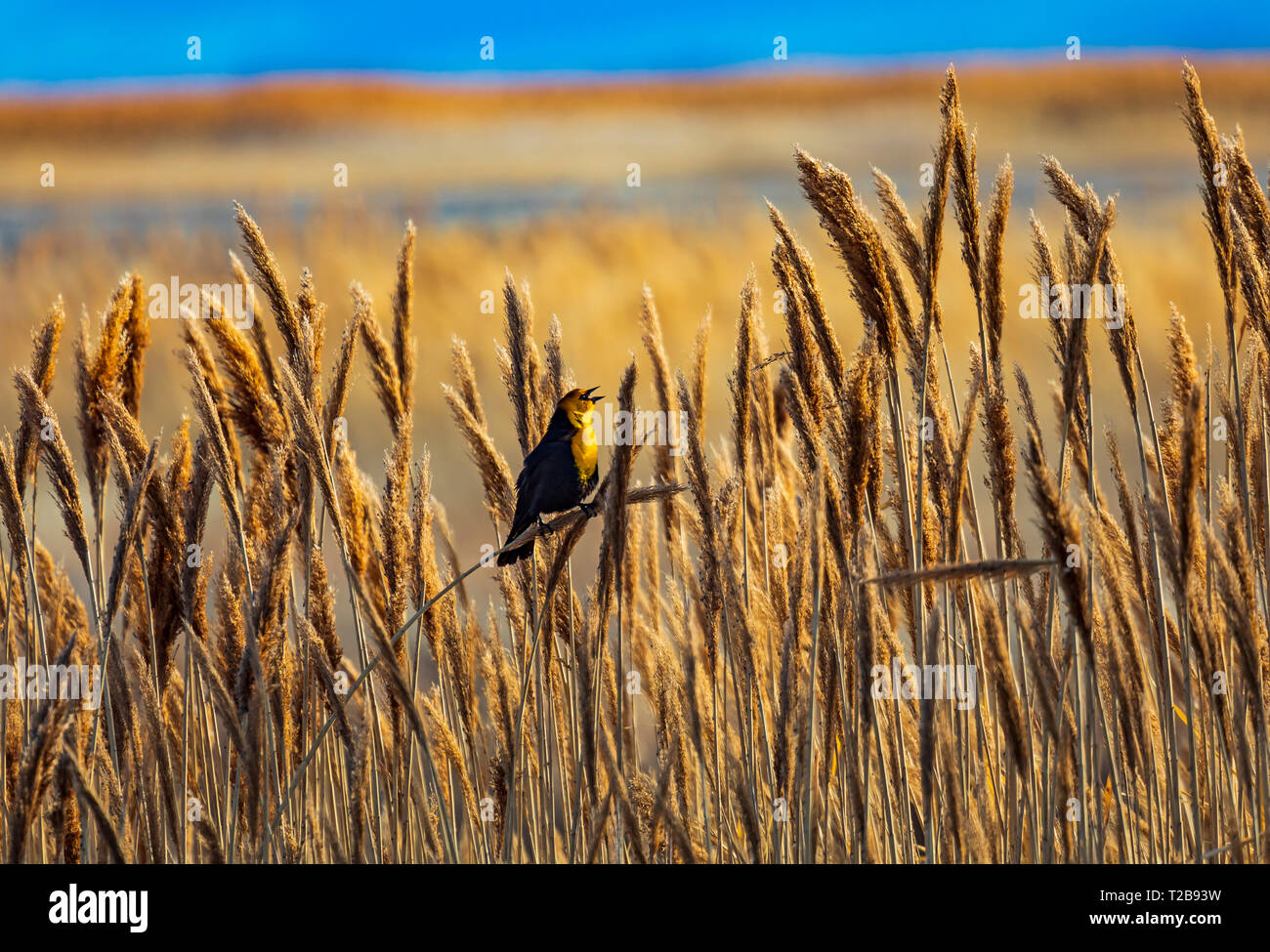 In this shot a Yellow-headed Blackbird (Xanthocephalus xanthocephalus ) sings his springtime song in the wetlands of Bear River Migratory Bird Refuge. - Stock Image