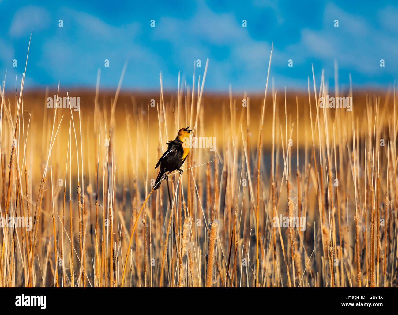 In this shot a Yellow-headed Blackbird (Xanthocephalus xanthocephalus ) sings his springtime song in the cattails at Bear River Migratory Bird Refuge. - Stock Image