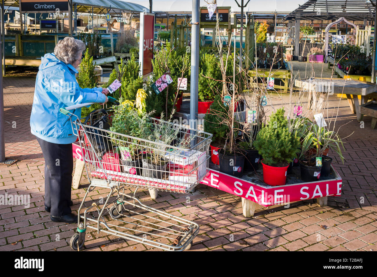 A lady pensioner considering plants for sale  at a garden centre in January at clearance prices in the UK - Stock Image