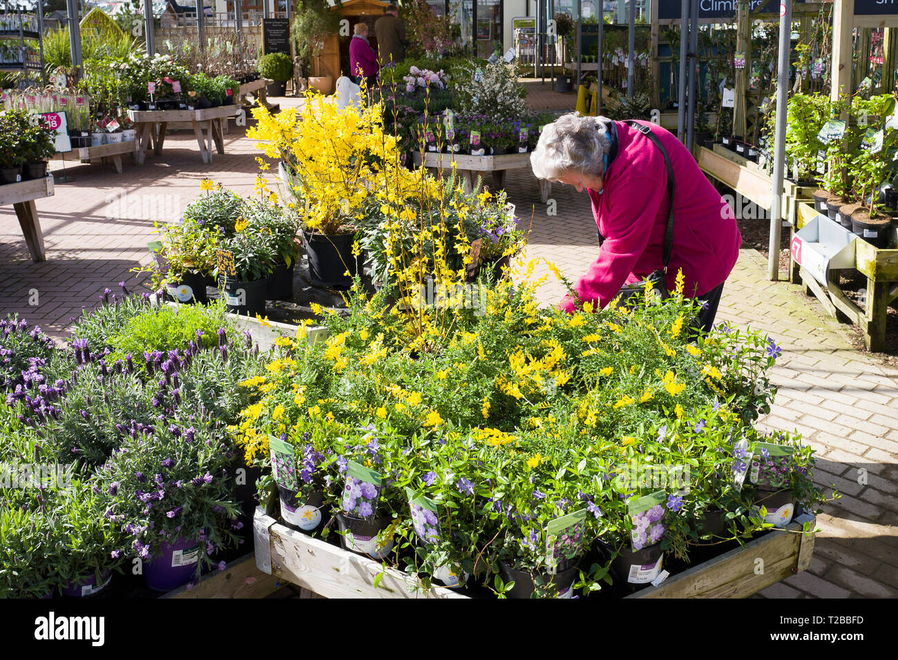 Female customer selecting plants in an English garden centre in Wiltshire England UK in Spring (looking at Genista and forsythia plants) - Stock Image