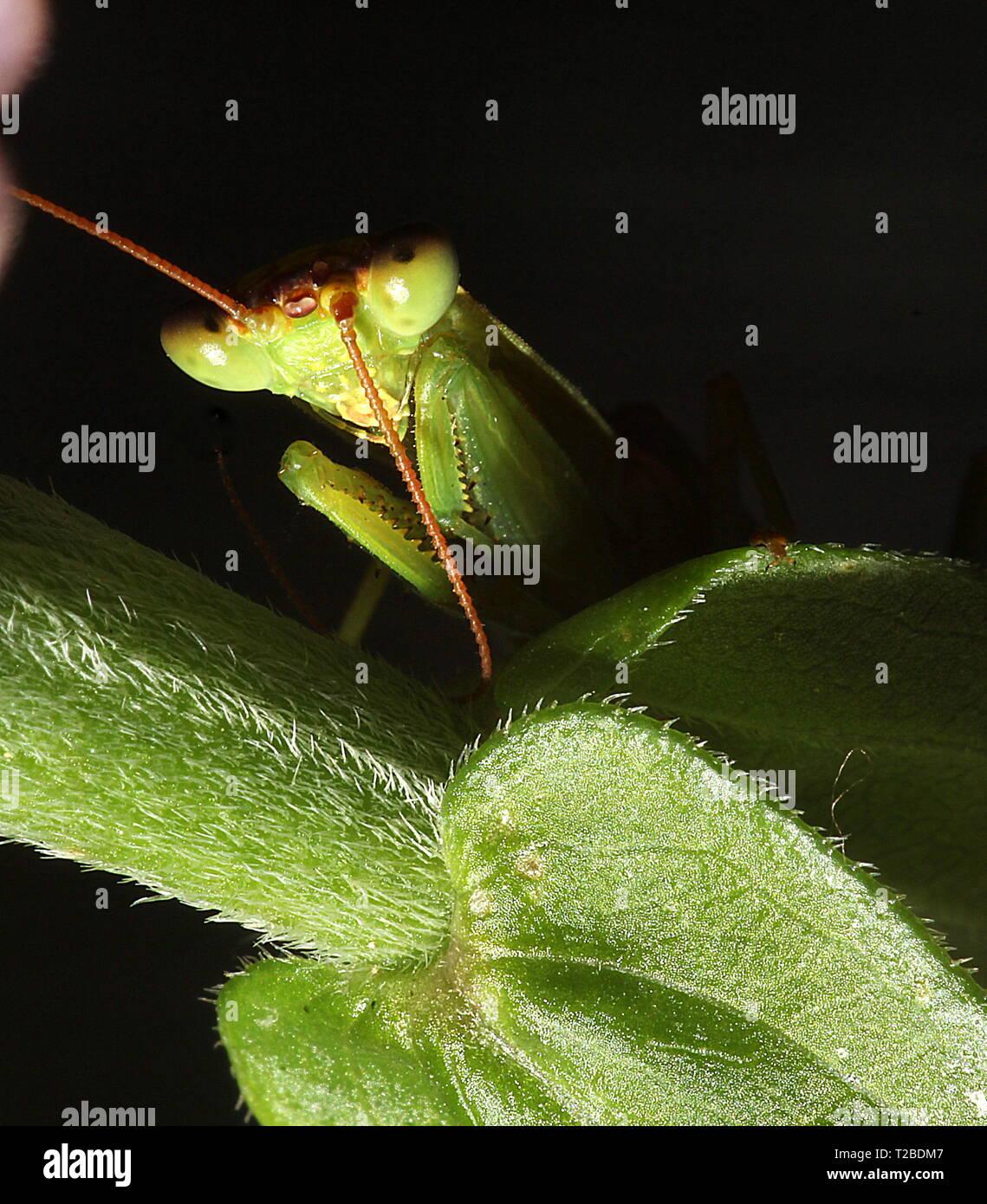 New Zealand preying mantis - Stock Image