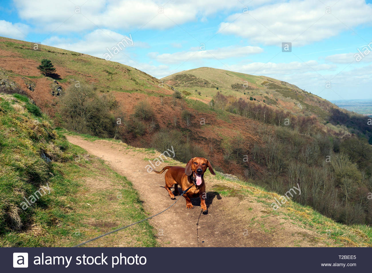 A happy dachshund walks a trail in the Malvern Hills during early spring,  in Worcestershire, UK. (dog is on an extendable lead) Stock Photo