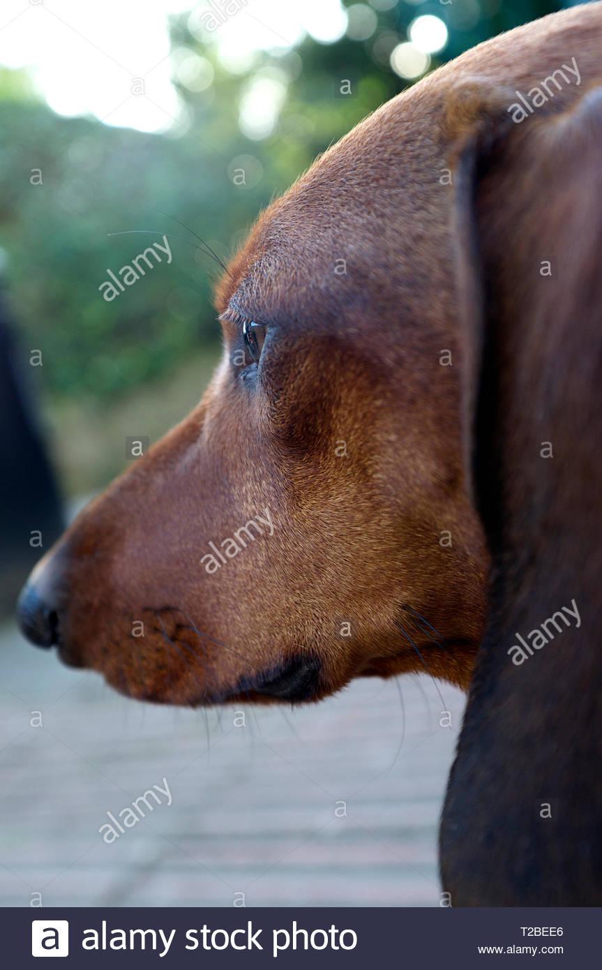 A dachshund close up head view. Stock Photo