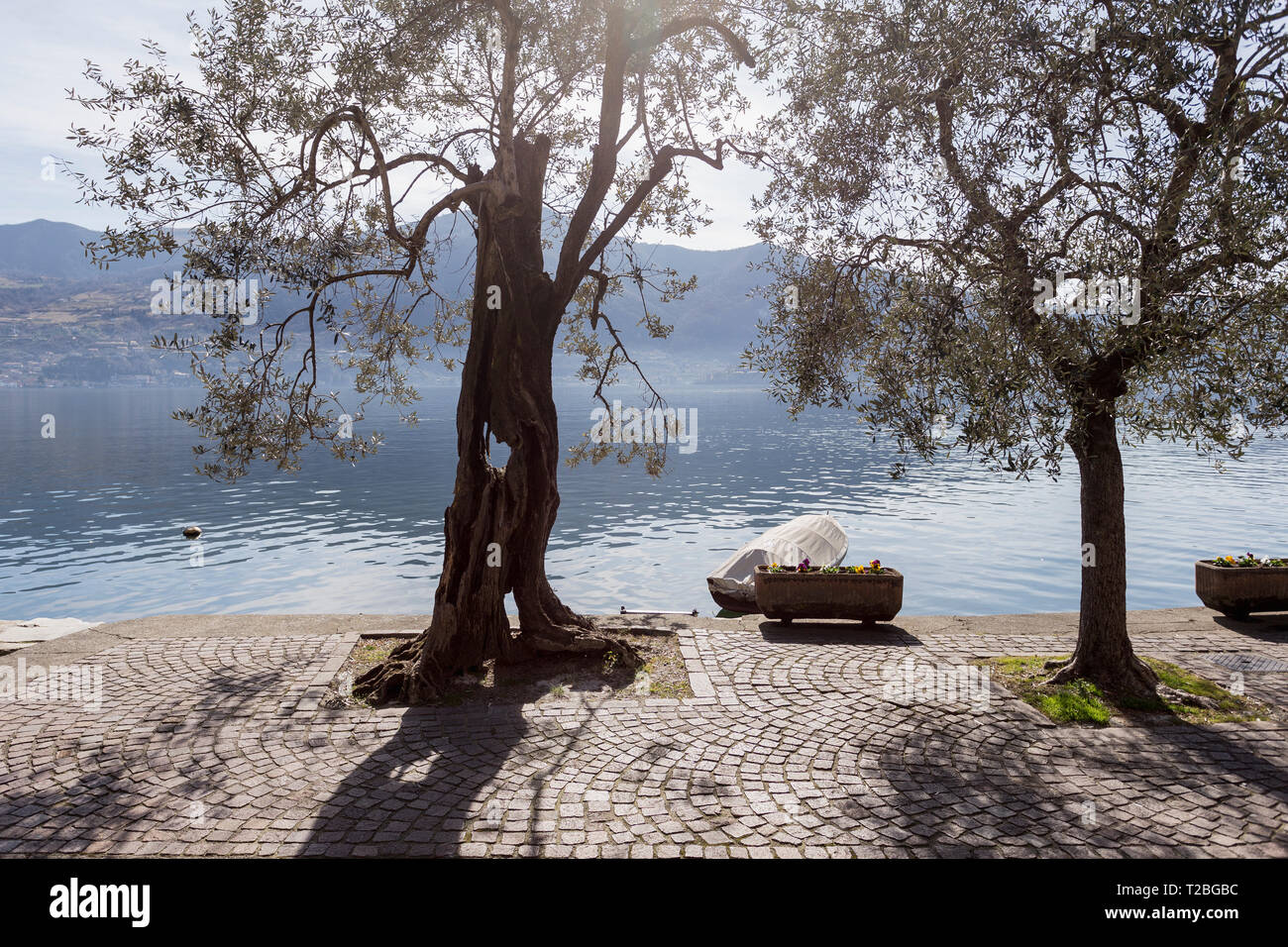 Olive trees in Monte Isola, Lake Iseo, Lombardy, Italy - Stock Image