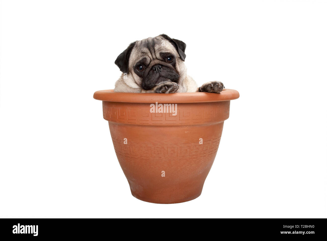 cute sweet pug dog sitting in terracotta plant pot, isolated on white background Stock Photo