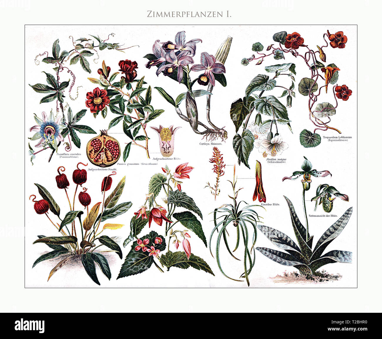 Houseplants - table illustrated and restored from Meyers Konversations-Lexikon 5. edition (1893-1901), universal encyclopedia in German language. - Stock Image