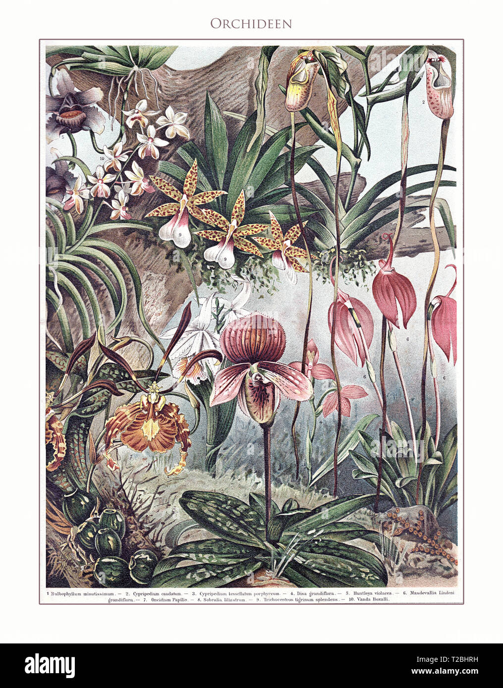 Orchids - table illustrated and restored from Meyers Konversations-Lexikon 5. edition (1893-1901), universal encyclopedia in German language. - Stock Image