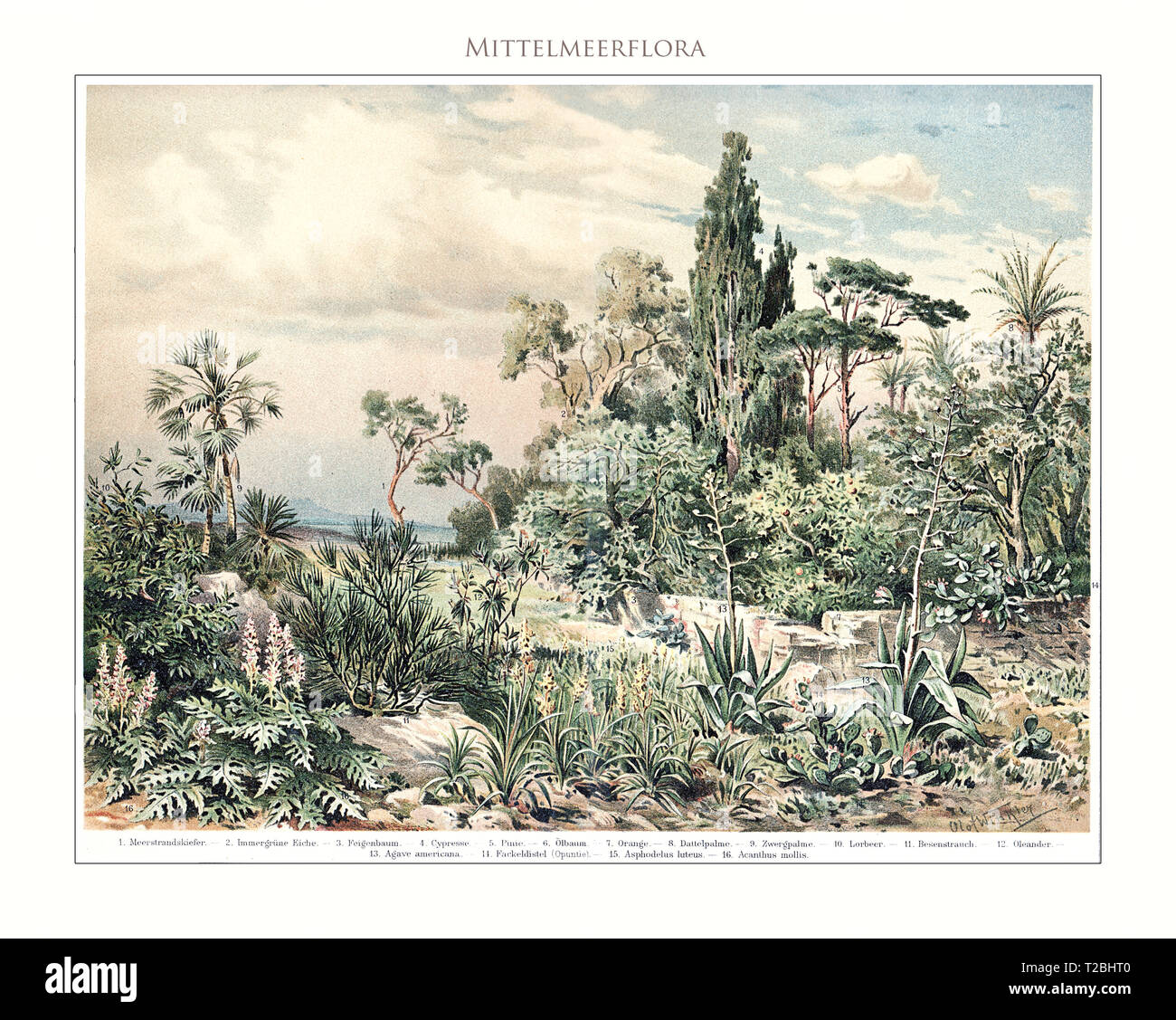 Mediterranean flora - table illustrated and restored from Meyers Konversations-Lexikon 5. edition (1893-1901), universal encyclopedia in German language. - Stock Image