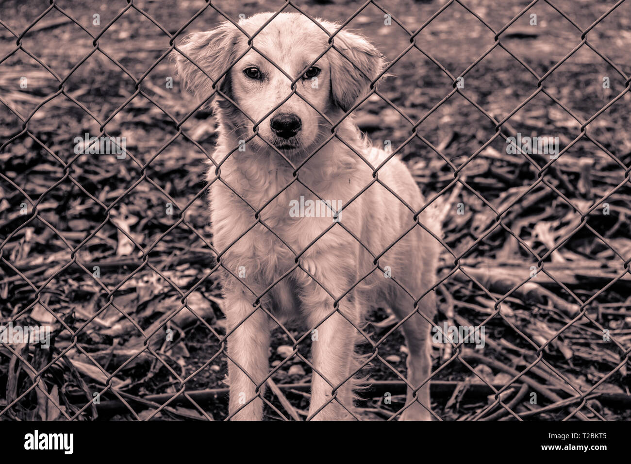 Photograph of a small white dog that is behind a fence. - Stock Image