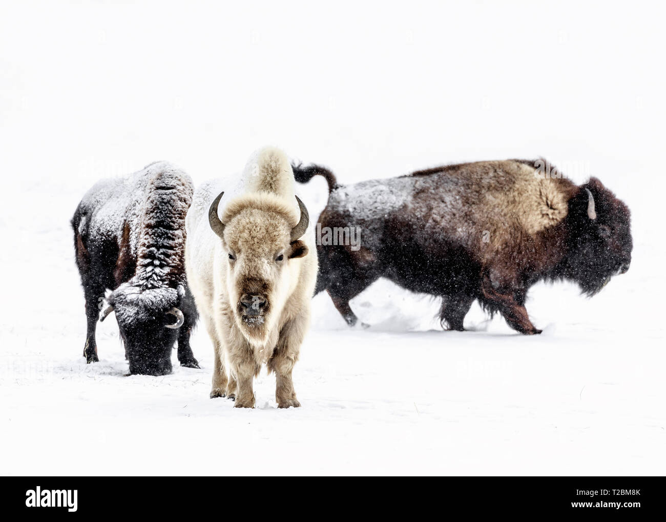 A sacred White Bison or Buffalo in winter, Manitoba, Canada. - Stock Image