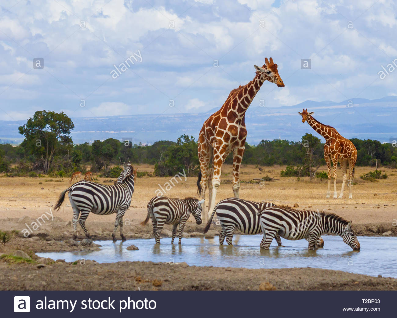Two giraffe four zebra queueing and drinking at waterhole Ol Pejeta Conservancy Kenya Stock Photo