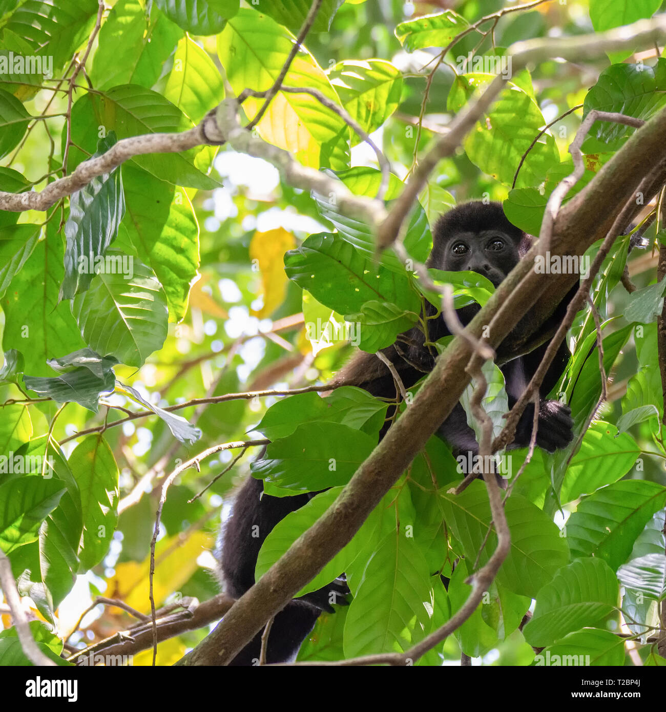 Hiding behind the leaves of a tree a howler monkey looks down with concern written in its eyes - Stock Image