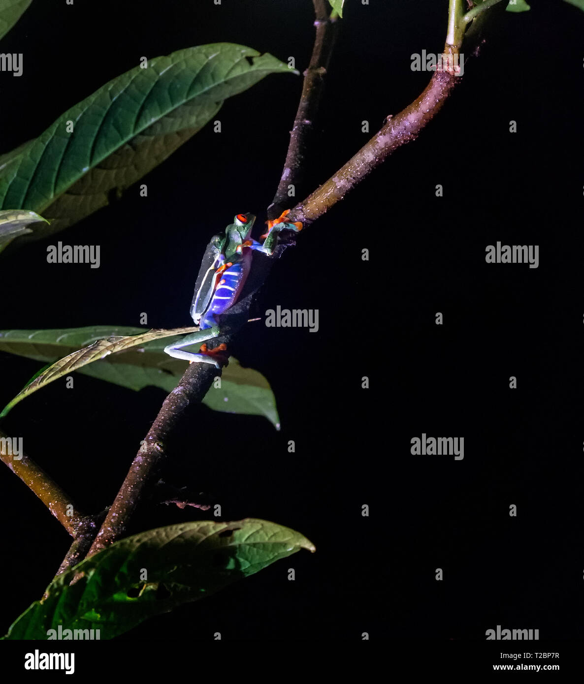 Two Red-Eyed Tree frogs fine each other in a lonely night and start another generation Stock Photo