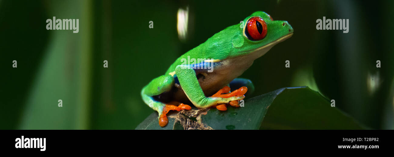 WIth a look of concern a red eyed tree frog holds on an uneven surface by spreading it large toes wide - Stock Image