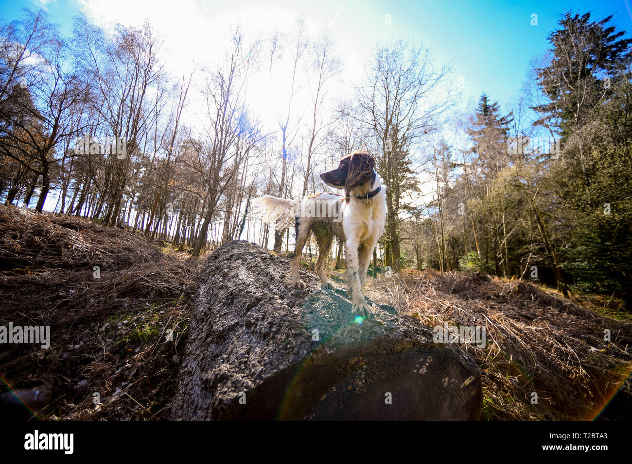 A young (1 Year) English Springer Spaniel perches on top of a fallen tree against a forest backdrop that is backlit with the sun flaring into camera. Stock Photo