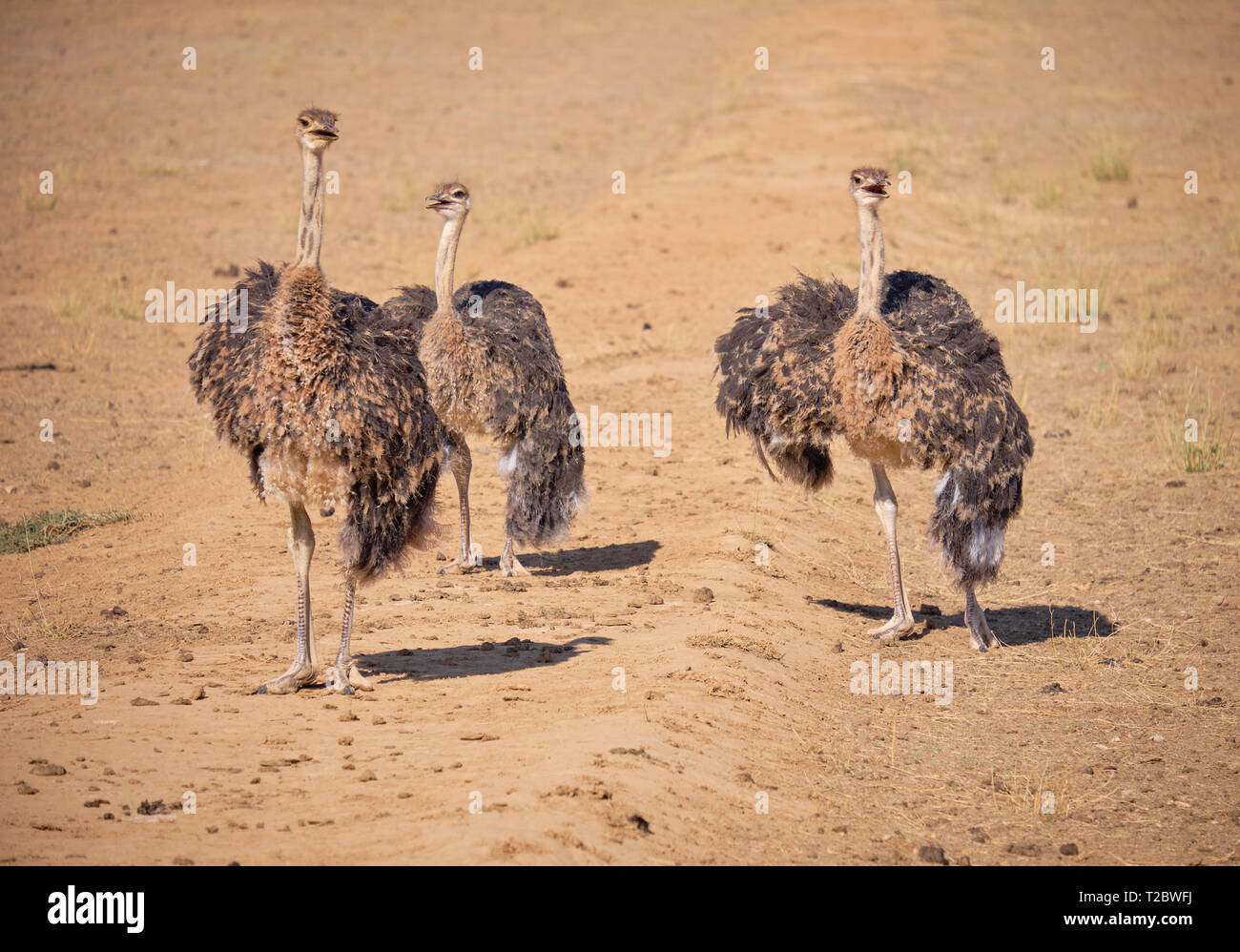 Juvenile ostrich standing in dirt field, looking towards viewers Stock Photo