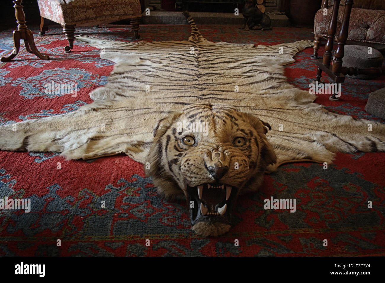An incredible rug made with a tiger's fur. The animal's gaze still inspires fear. Carpet in a Victorian style living room. National Trust - Lanhydrock - Stock Image