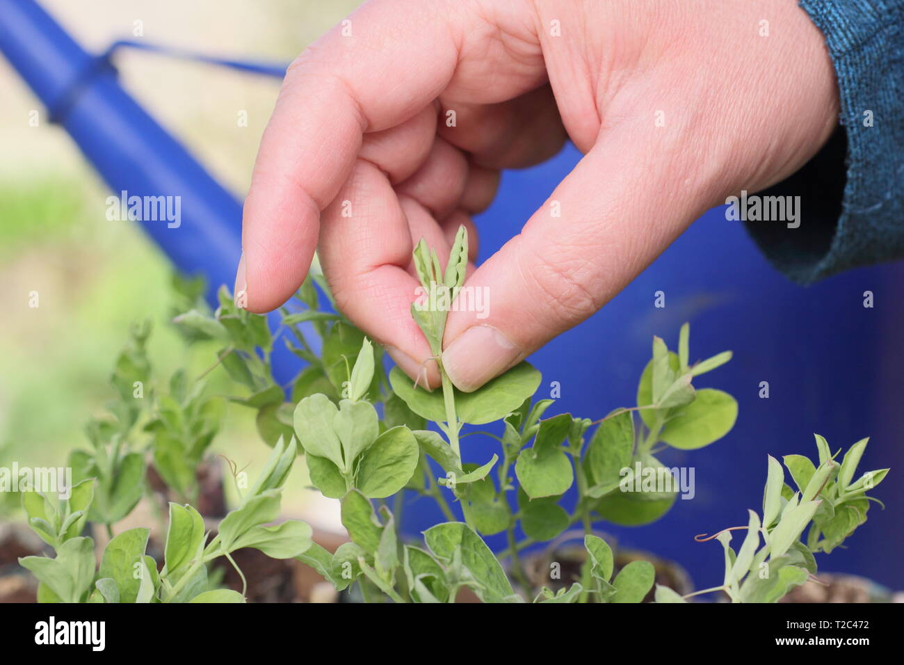 Lathyrus odoratus 'Painted Lady'. Pinching out tips of sweet pea seedlings to encourage strong, bushy growth with more flower stems - March. UK - Stock Image