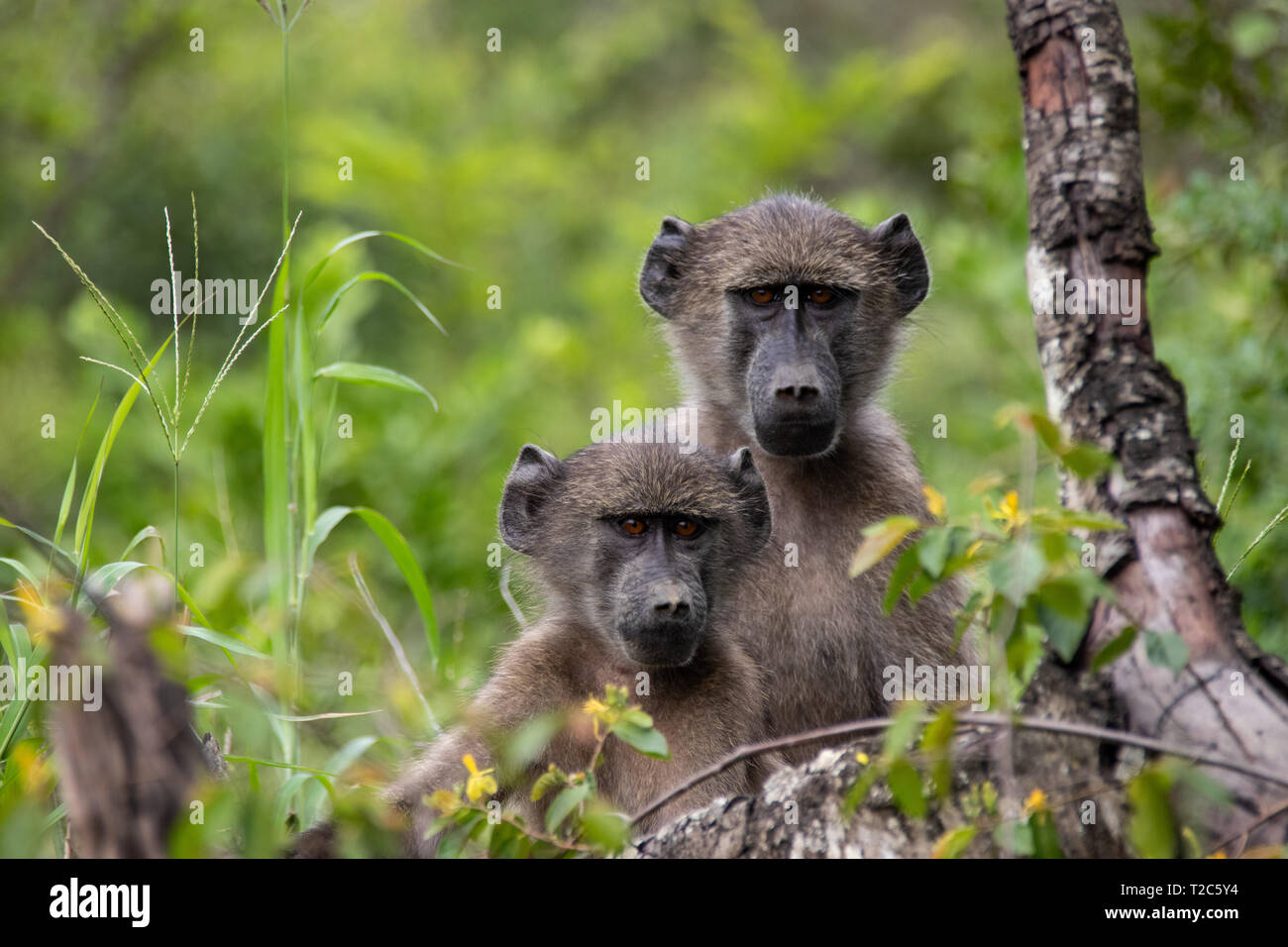 Portrait of Two cute Baboons looking at the camera - Stock Image