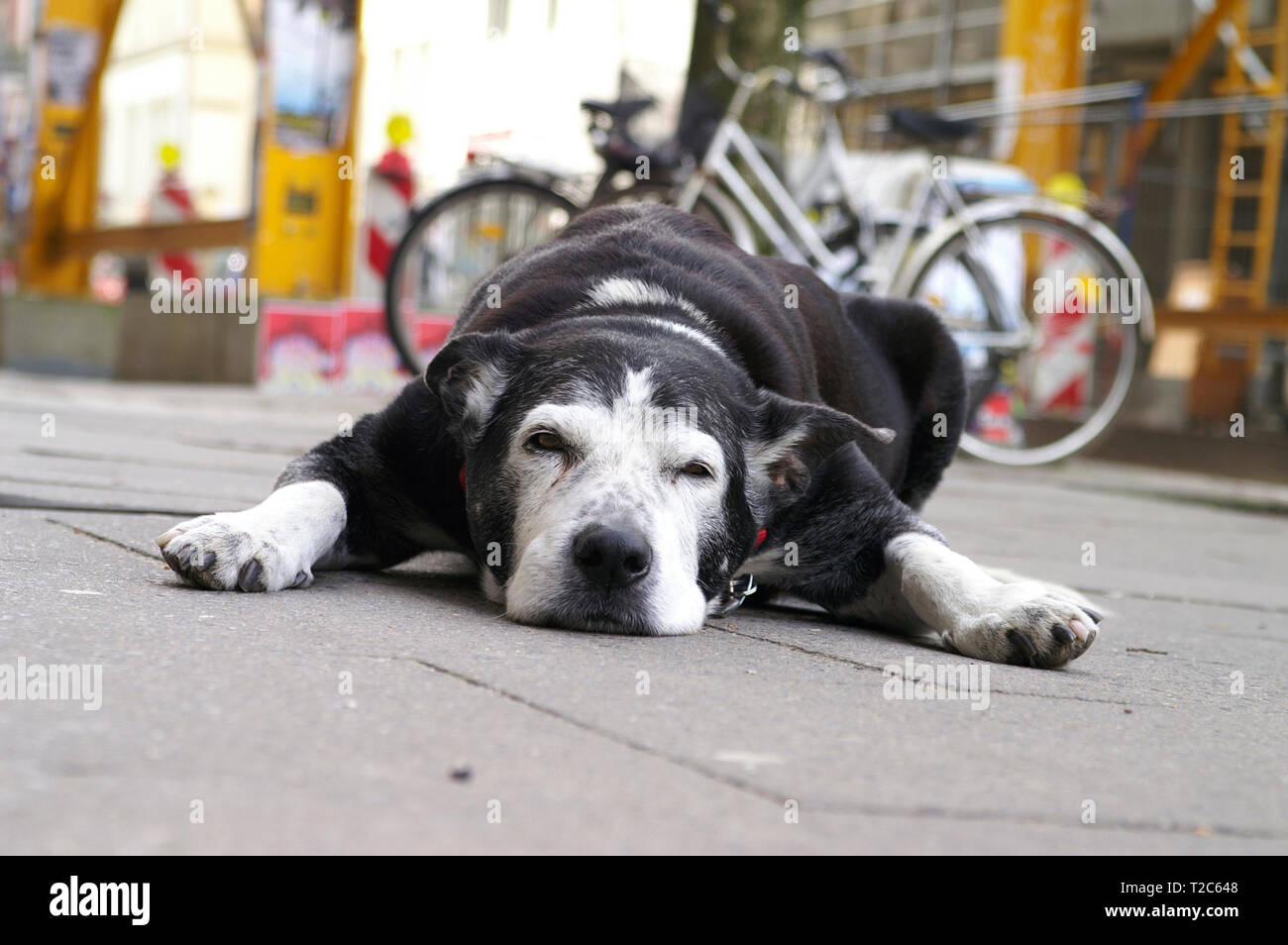 Dog lies in front of a shop in shopping street, Sternschanze district, Hamburg, Germany - Stock Image