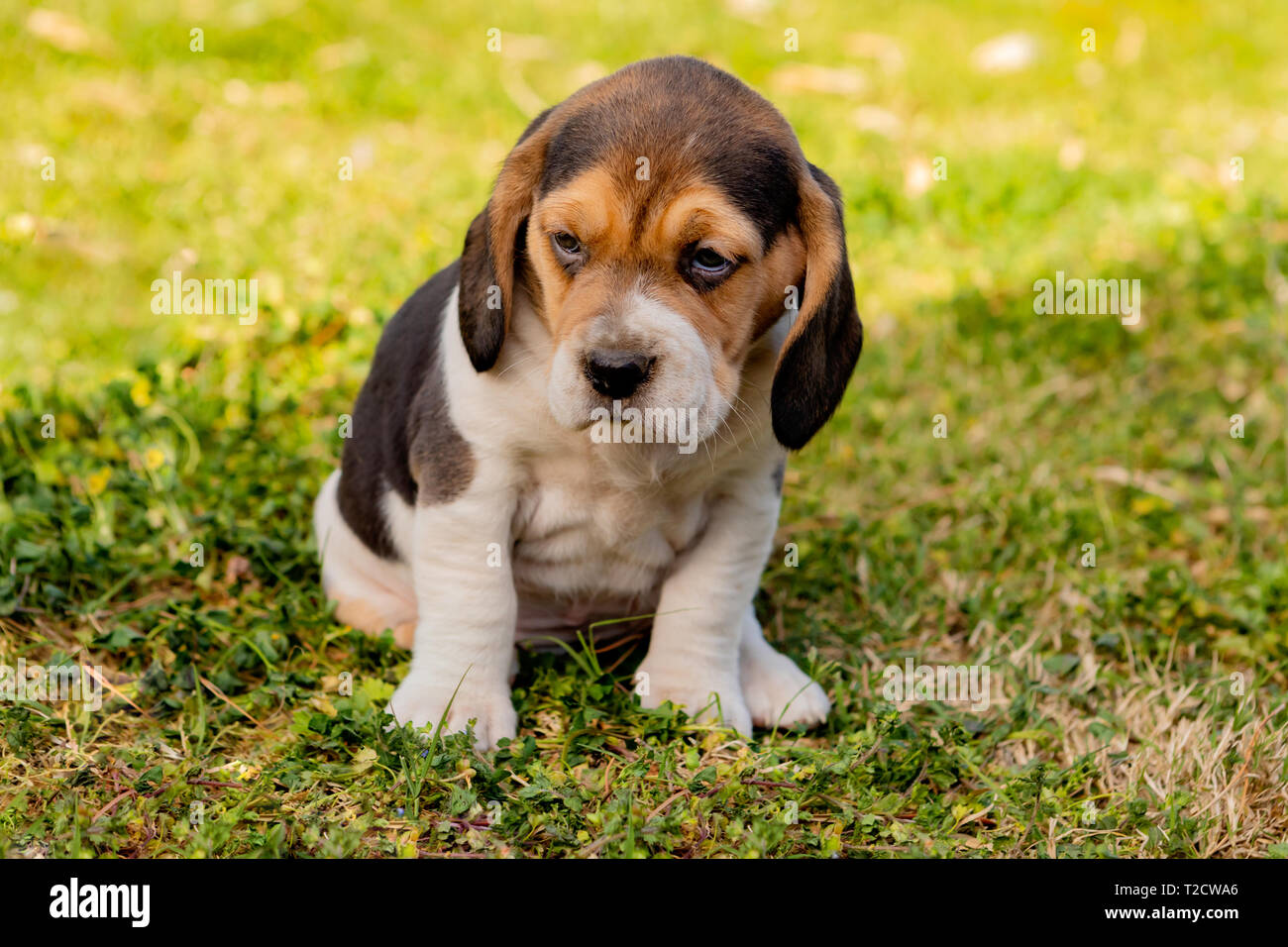Beautiful Beagle Puppy Brown And Black On The Green Grass Stock Photo Alamy