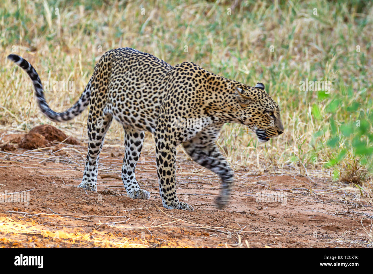 Leopard Panthera pardus Solitary powerful big cat walking with motion blur of paw Side view face head body Samburu National Reserve Kenya East Africa - Stock Image