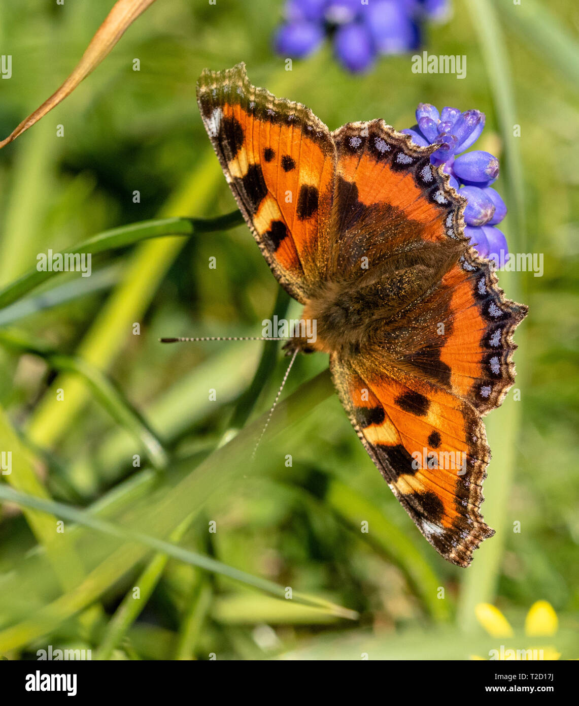 A small tortoiseshell butterfly feeding on nectar from a grape hyacinth flower. - Stock Image