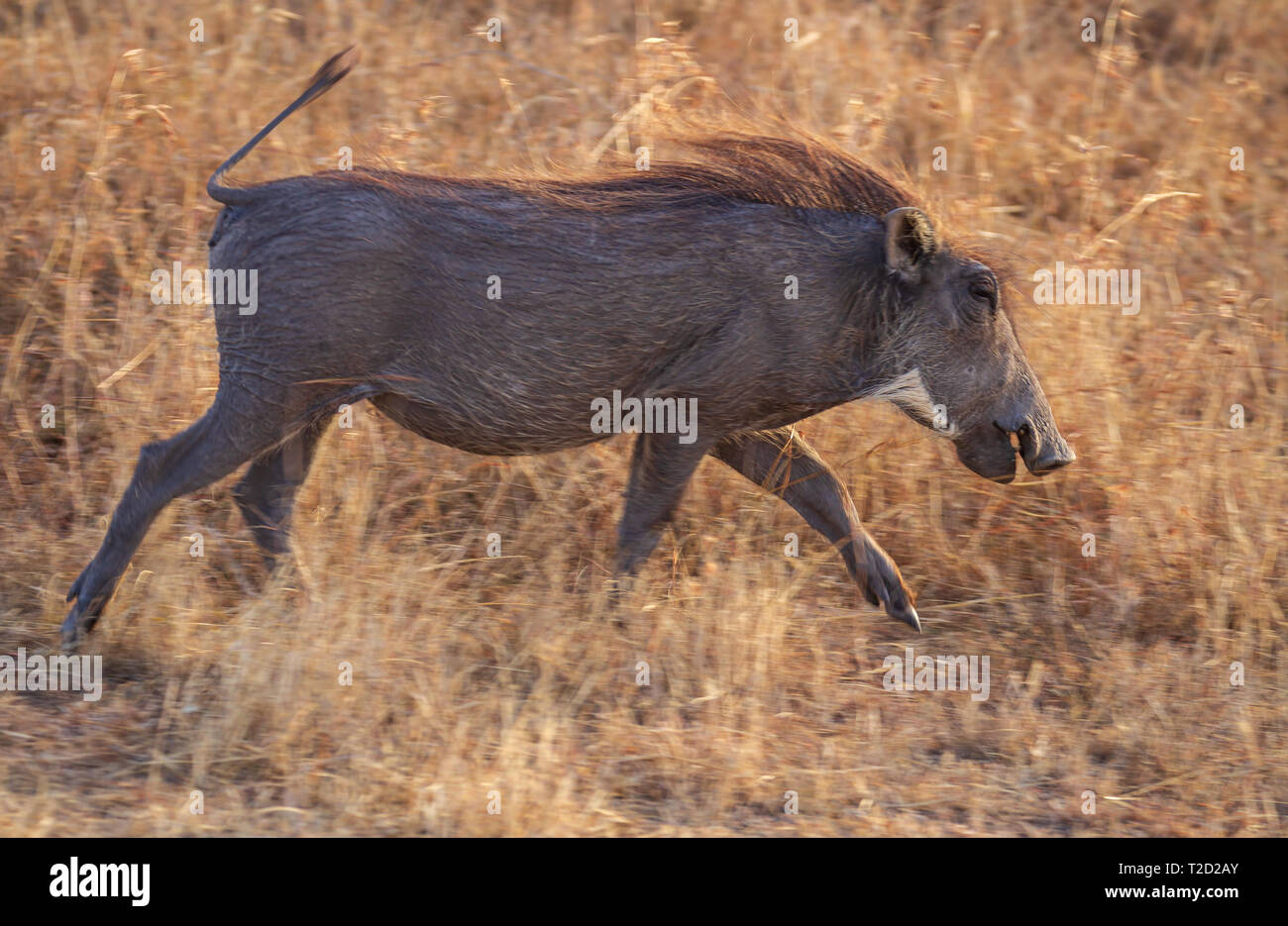 Warthog Phacochoerus africanus running with pointed hooves blond mane Lake Nakuru - Stock Image