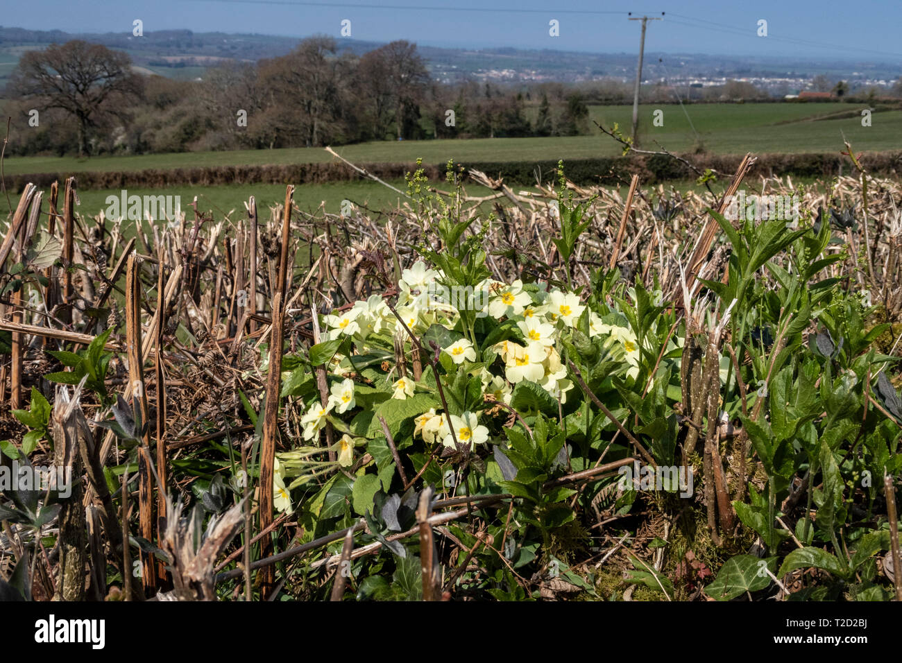 Wild primroses growing within a devon bank hedge, near OPttery St Mary, Devon. Stock Photo
