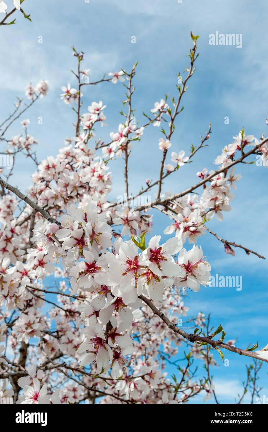 almond, Prunus dulcis - Stock Image