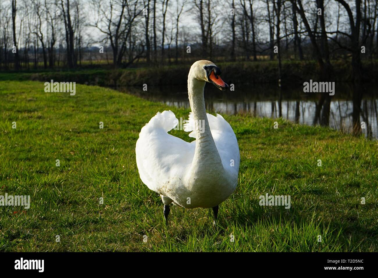 Cautious swan posing for camera. - Stock Image