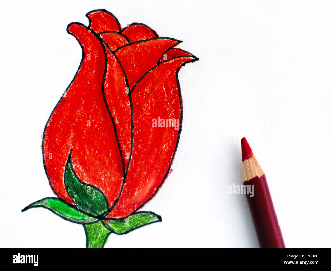 Red tulip with pencil pencil hand drawing stock photo 242469004
