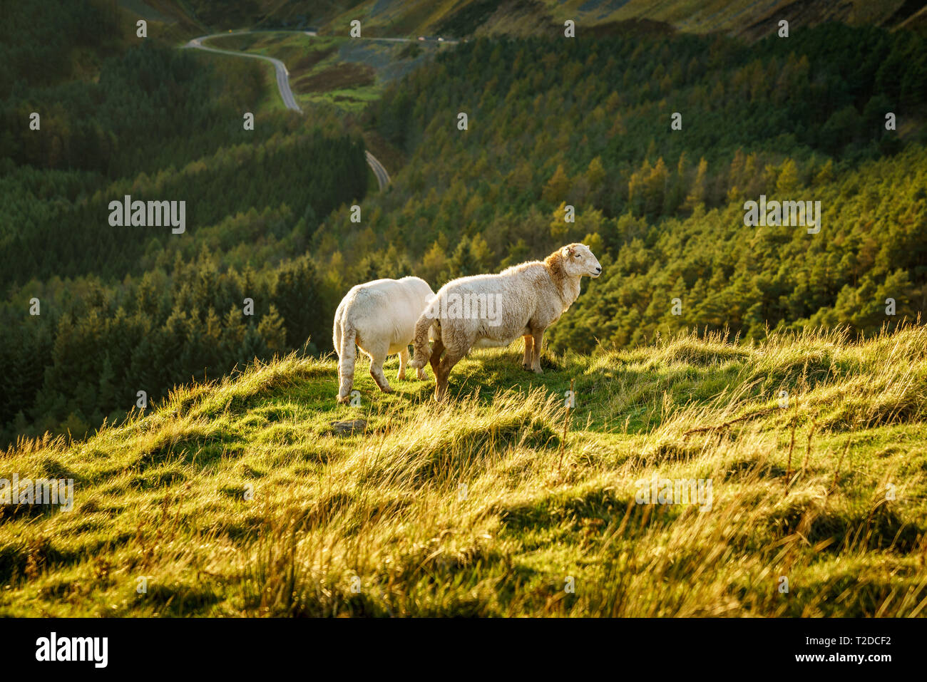 Sheep near Treorchy, overlooking the Ogmore Valley in Rhondda Cynon Taf, Mid Glamorgan, Wales, UK - Stock Image