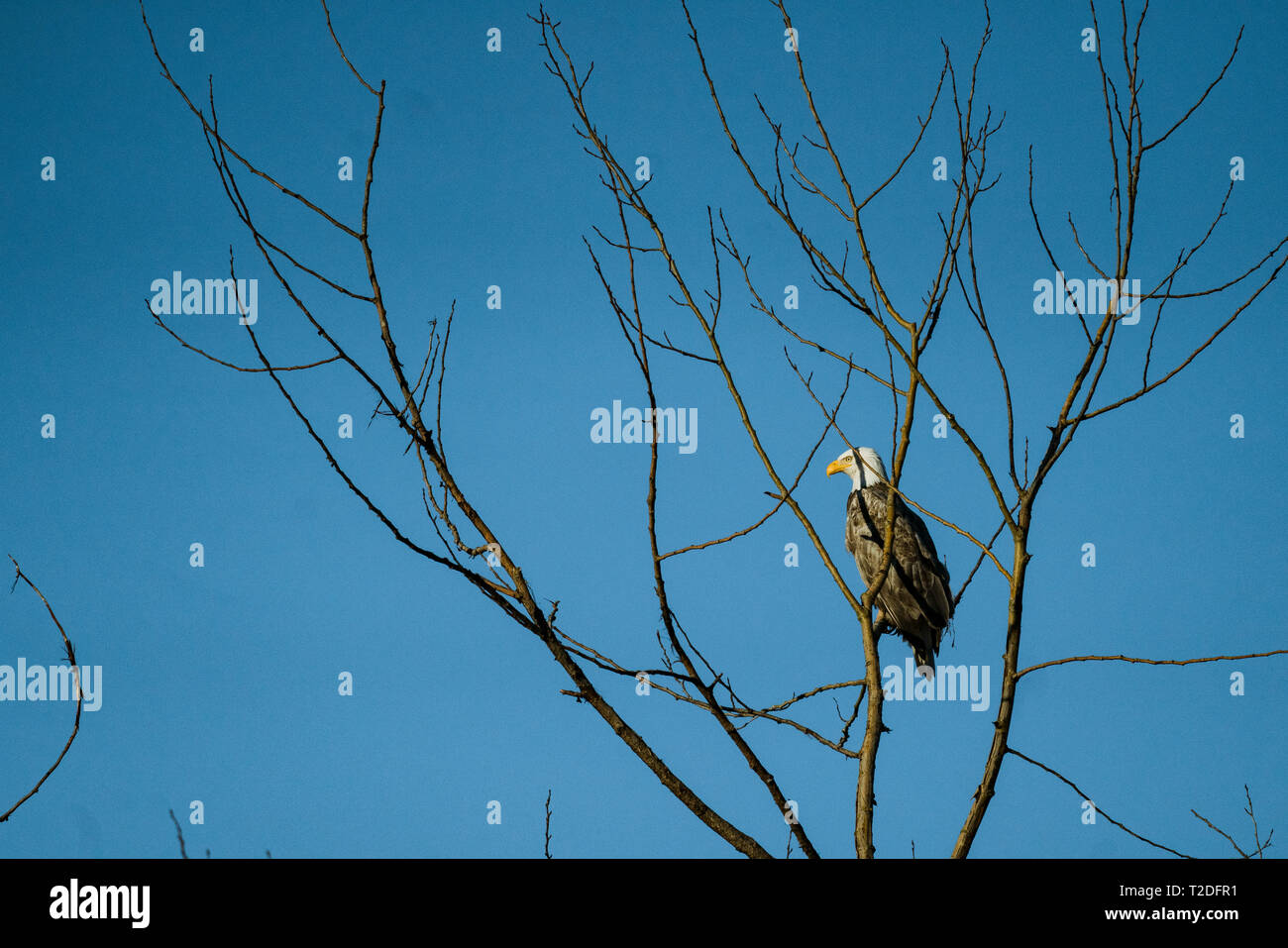 A partially leucistic bald eagle sits in a bare tree - Stock Image