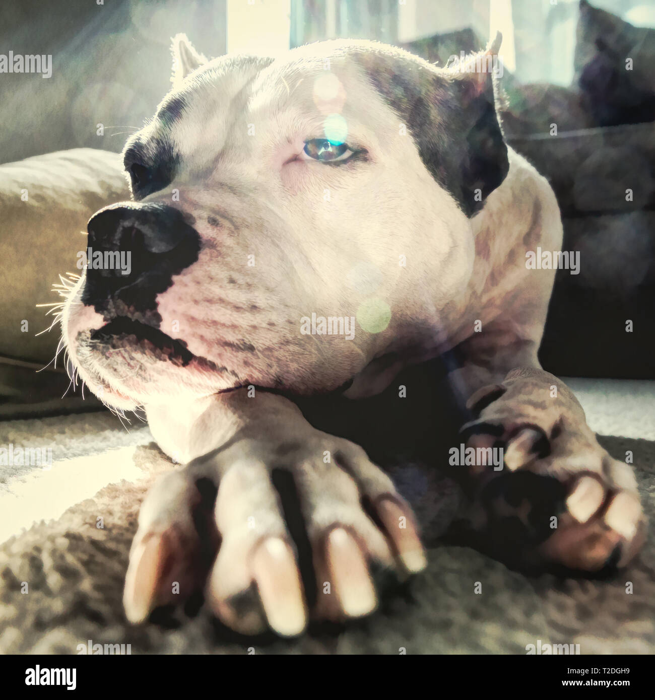 An old staffordshire terrier lays down in thought with a wistful look on his face - Stock Image