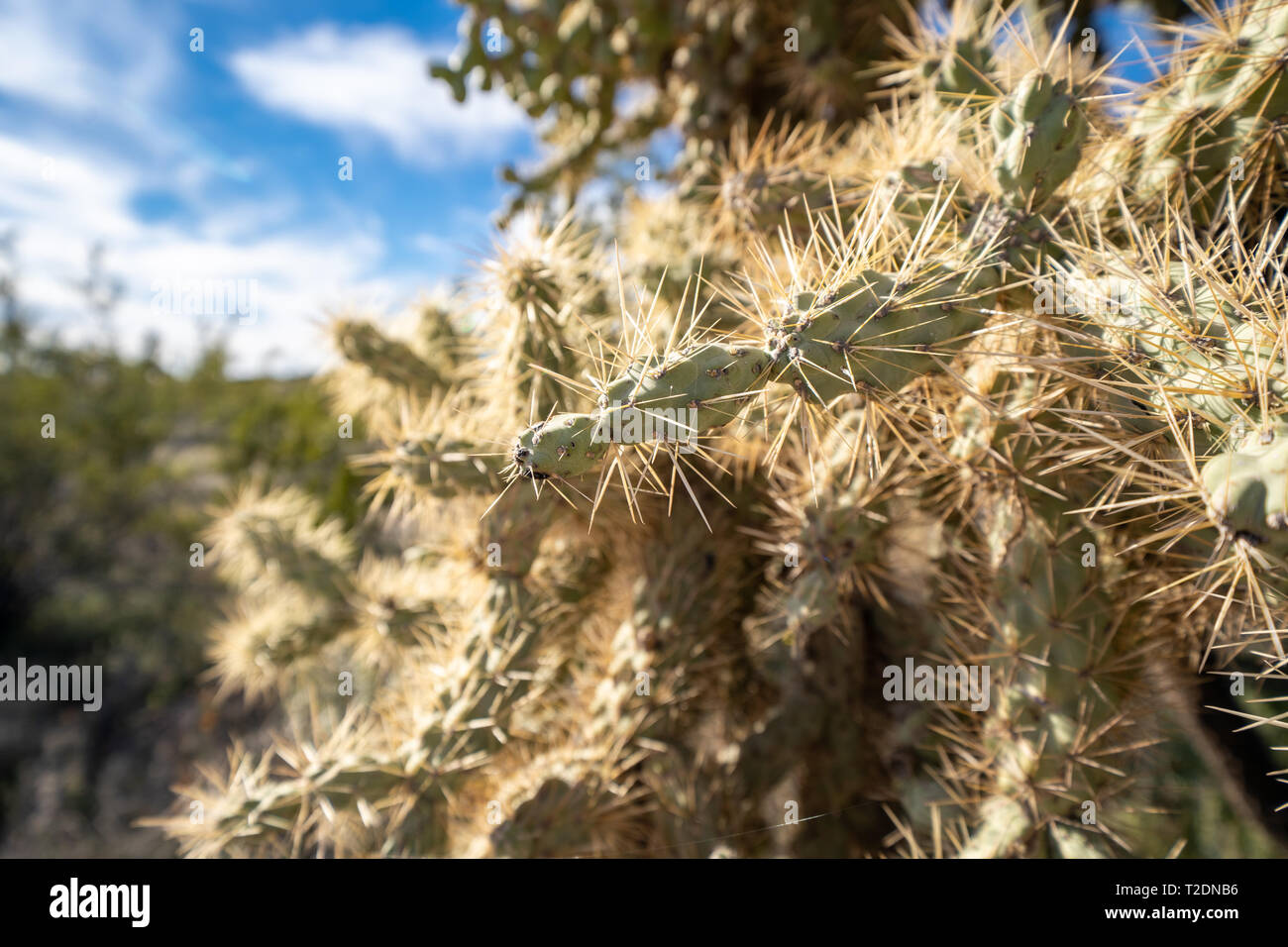 Close up of a chain fruit cholla cactus in the Sonoran Desert of Arizona - Stock Image