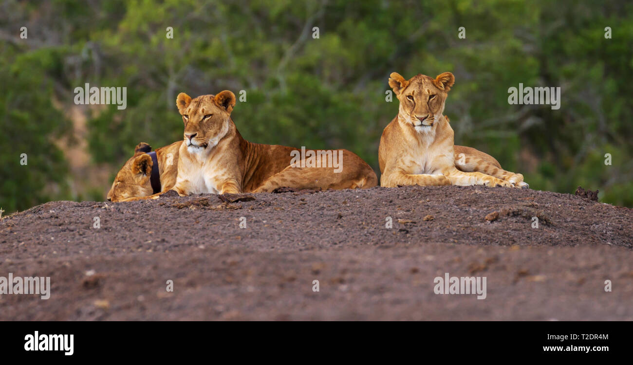 3 lions lying on clay ground, 1 with radio collar, Ol Pejeta Conservancy Kenya - Stock Image