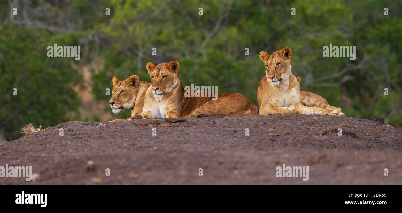 Three lions stretched out on ground looking out left Ol Pejeta Conservancy Kenya - Stock Image