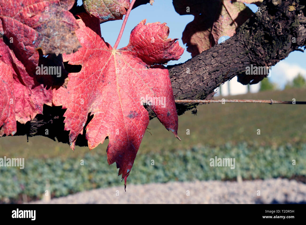 On the branch of the vine, supported by steel wire, the already red leaves of autumn, draw their shape. It is Brazil Stock Photo